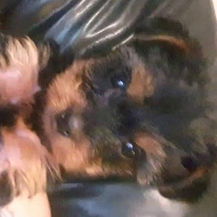 Male yorkies for sale