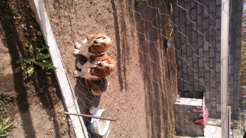 Basset hounds pups