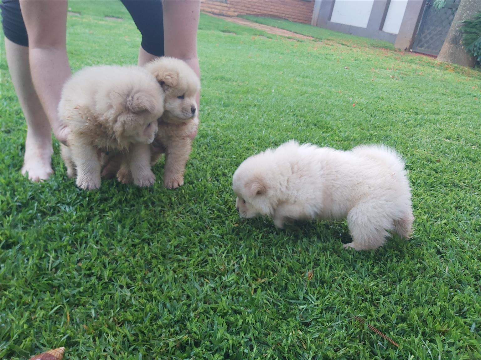 Cream chow puppies