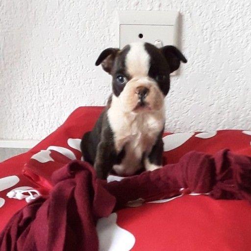 boston terrier male pup