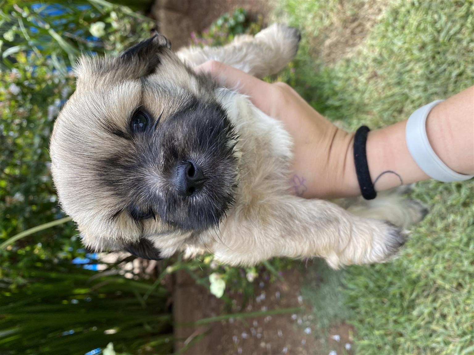 Morkie: (Maltese and Yorkie cross) puppies for sale.