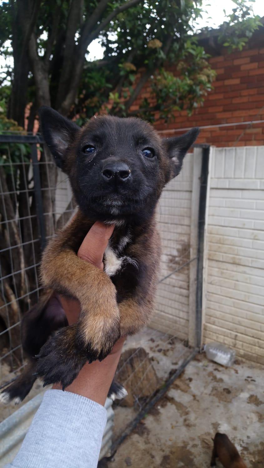 Pedigree Malinois pups for sale