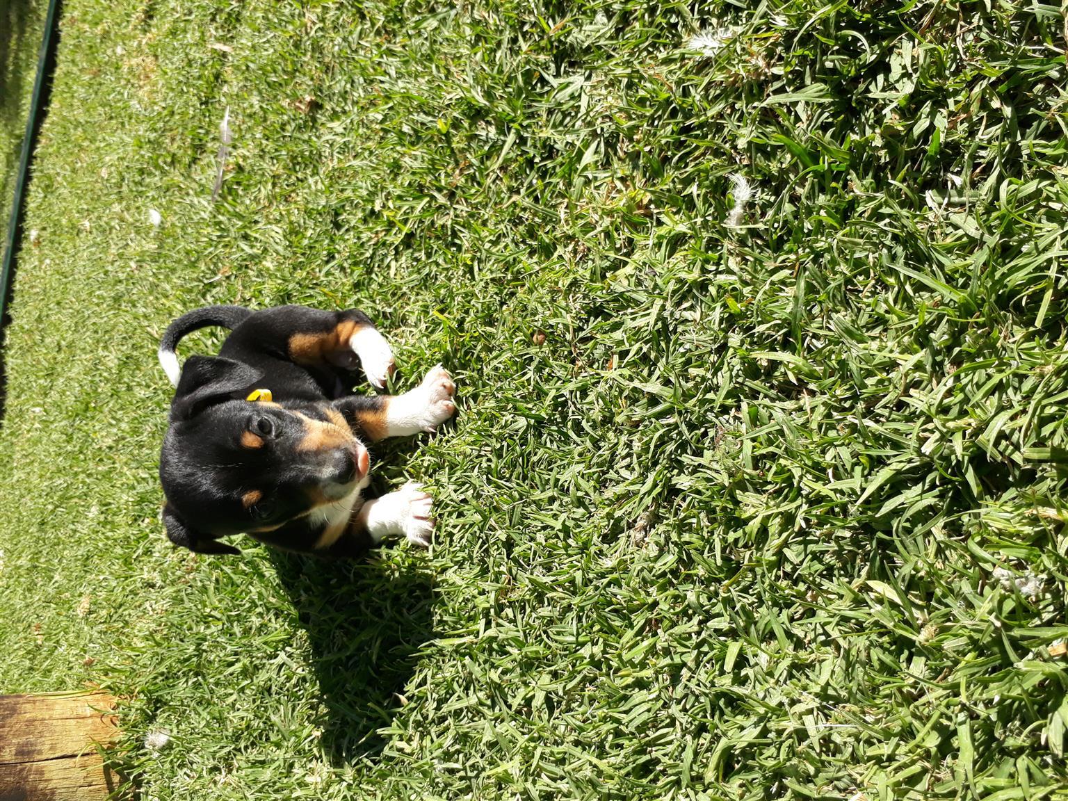 Short legged fox terrier