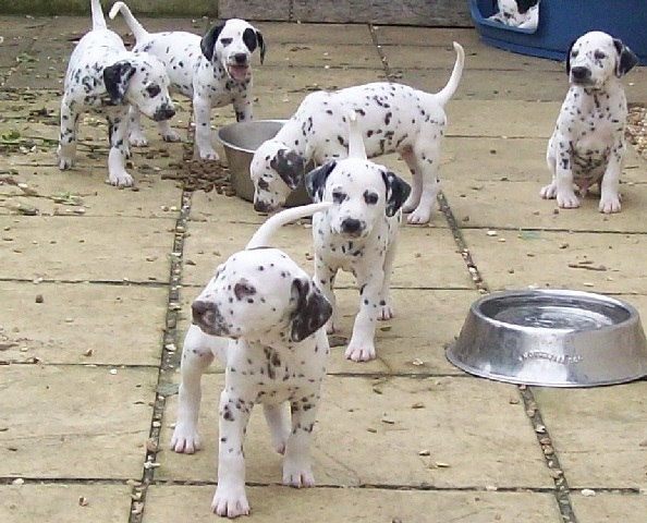 Beautiful Dalmatian Puppies Eight Weeks Old