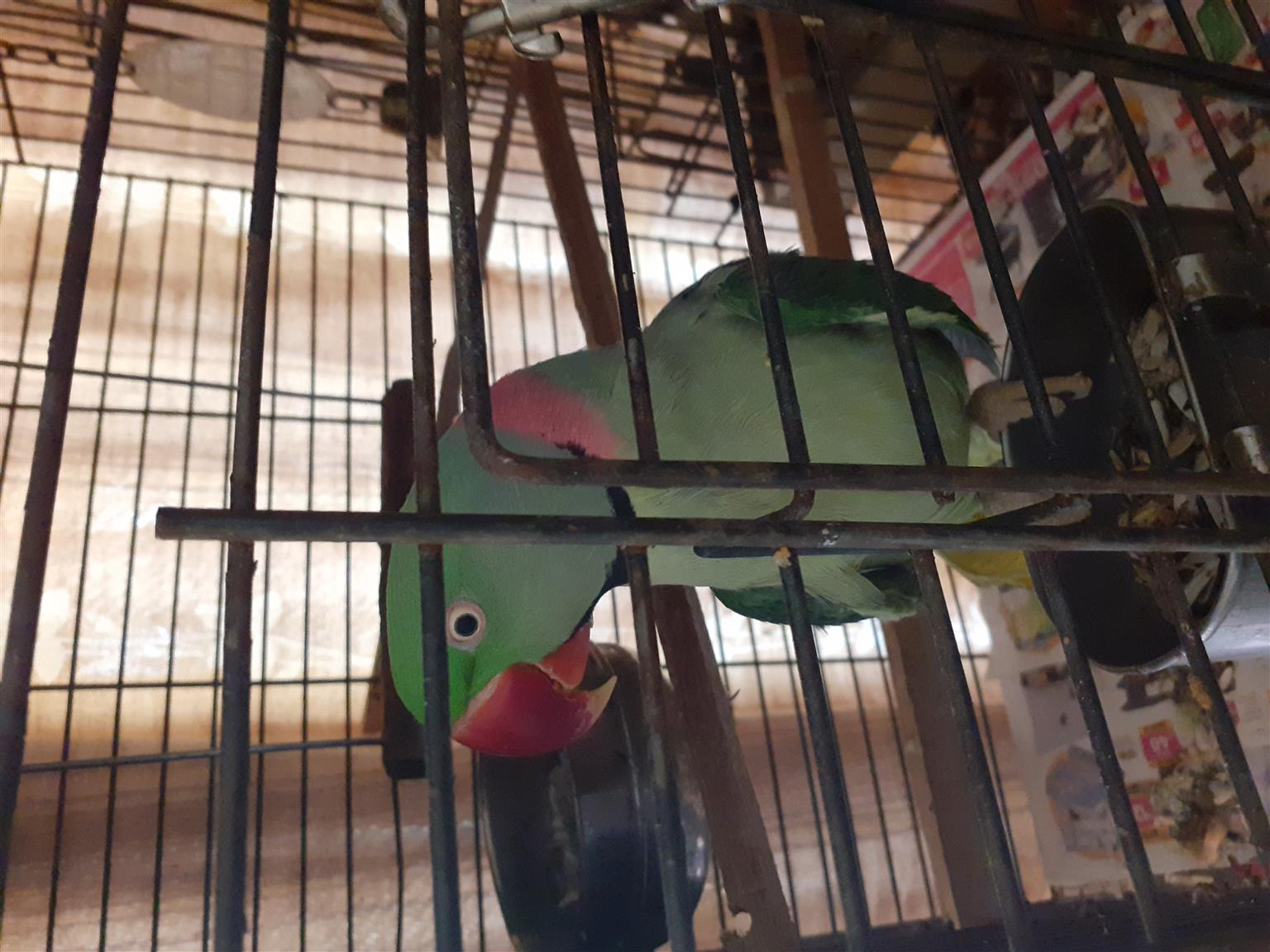 Iam selling  my birds because iam moving its with Goodall