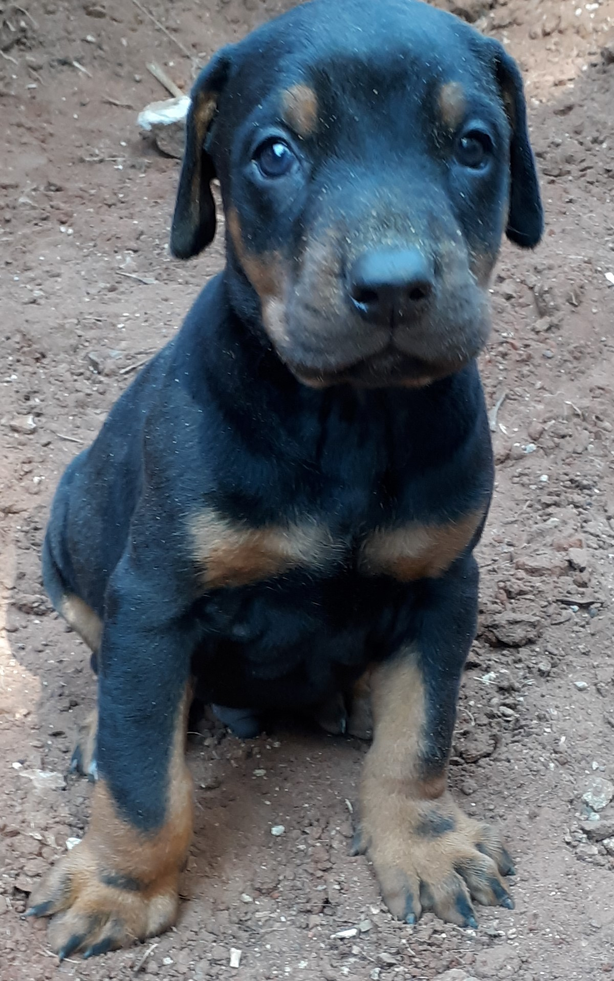 Doberman Puppies For Sale Junk Mail