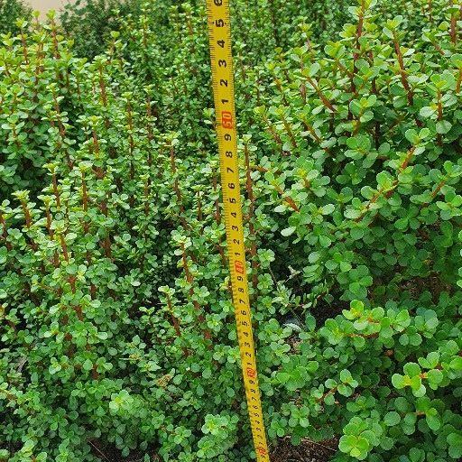 Spekboom Succulents / Elephant Bush