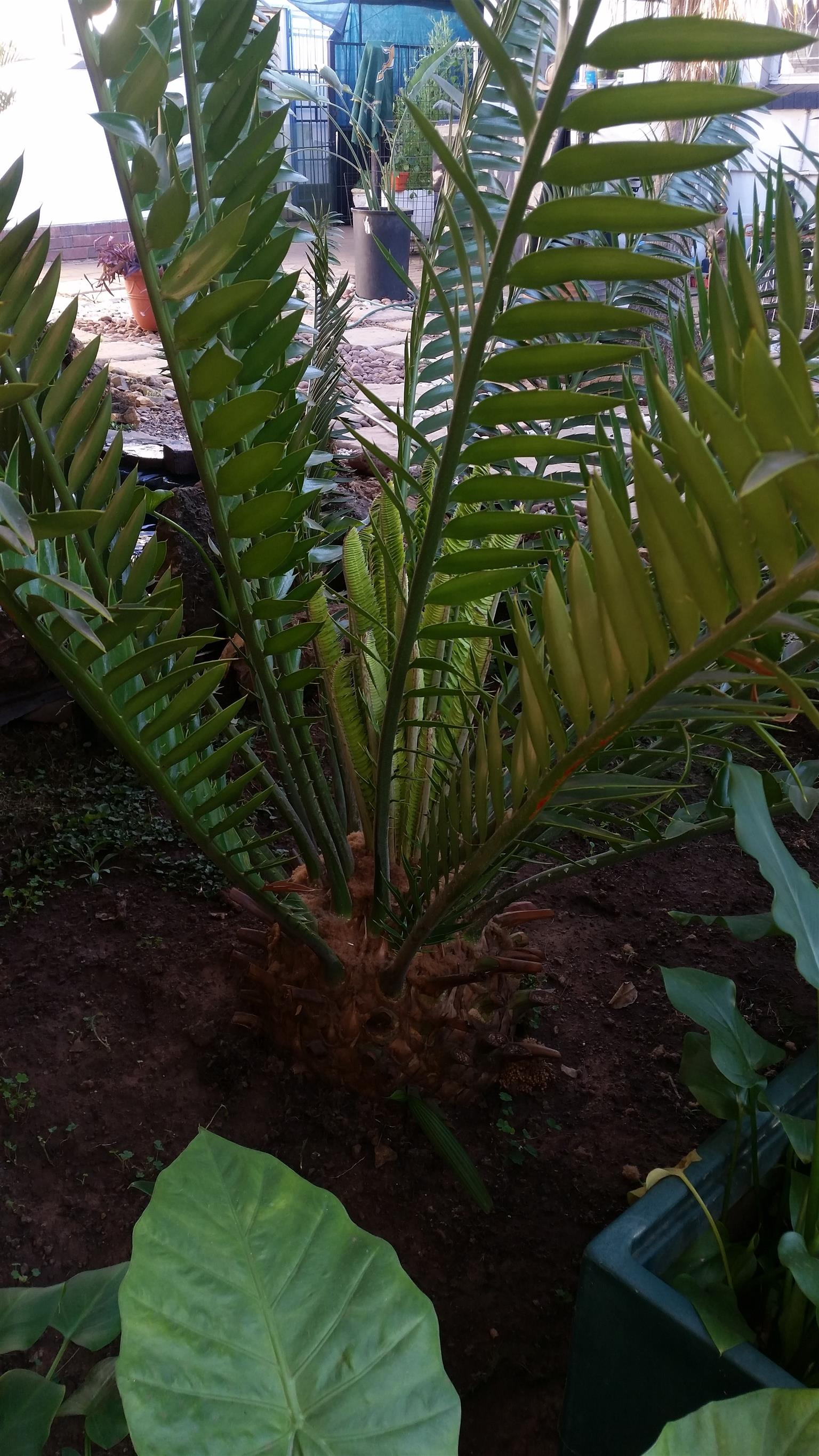 Cycads for sale