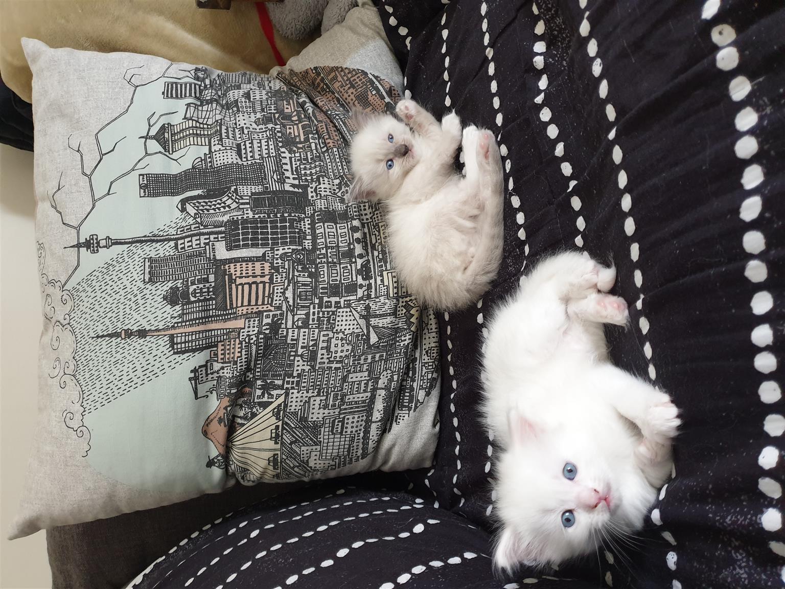 Gorgeous Ragdoll Kittens