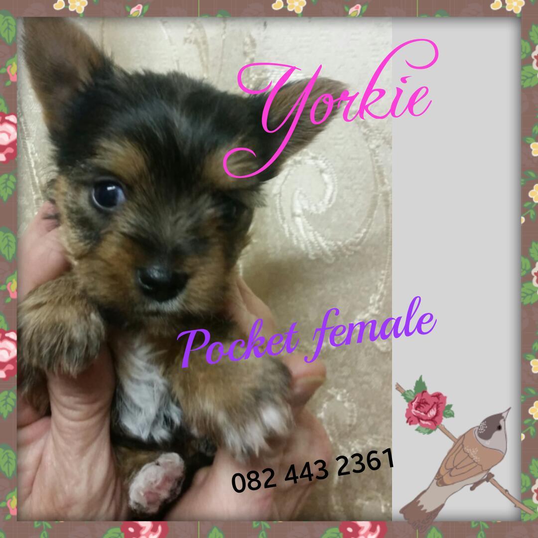 Yorkie pocket female