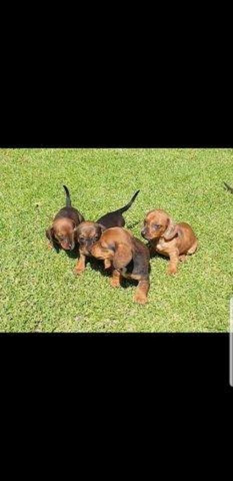 Miniature Dachshund (worshondjies / worsies) Puppies for sale