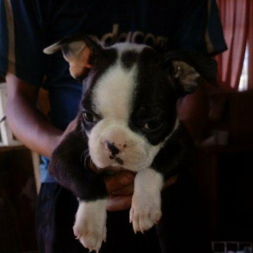 Boston Terrier Hondjies
