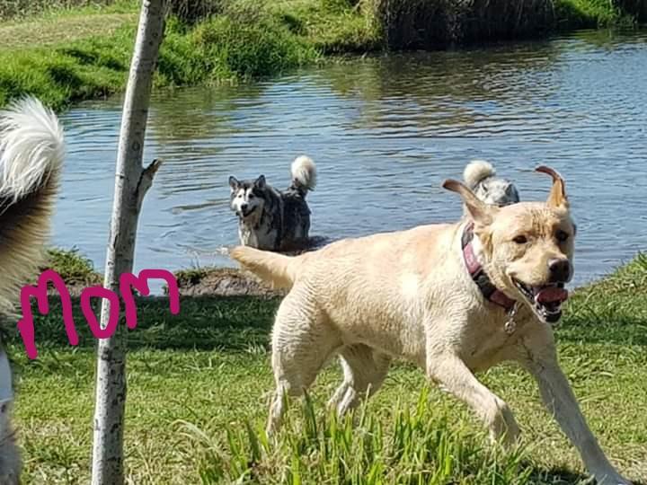 Labrador x Puppies