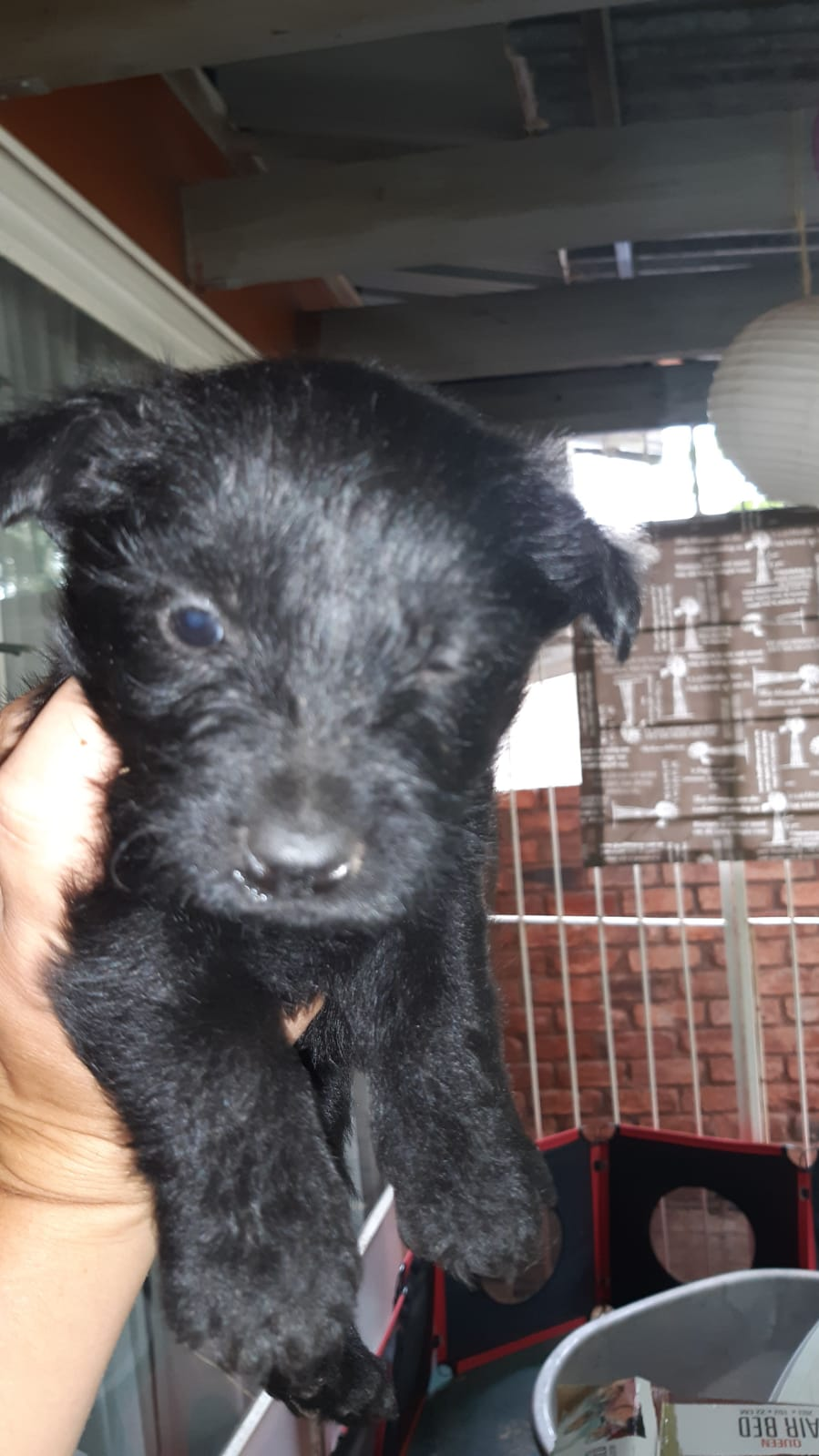Scottish Terrier Pups For Sale
