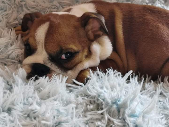 English Bulldog Female Puppy