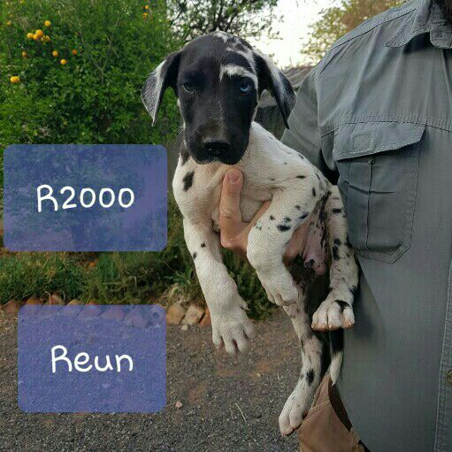 Great Dane pups for sale.