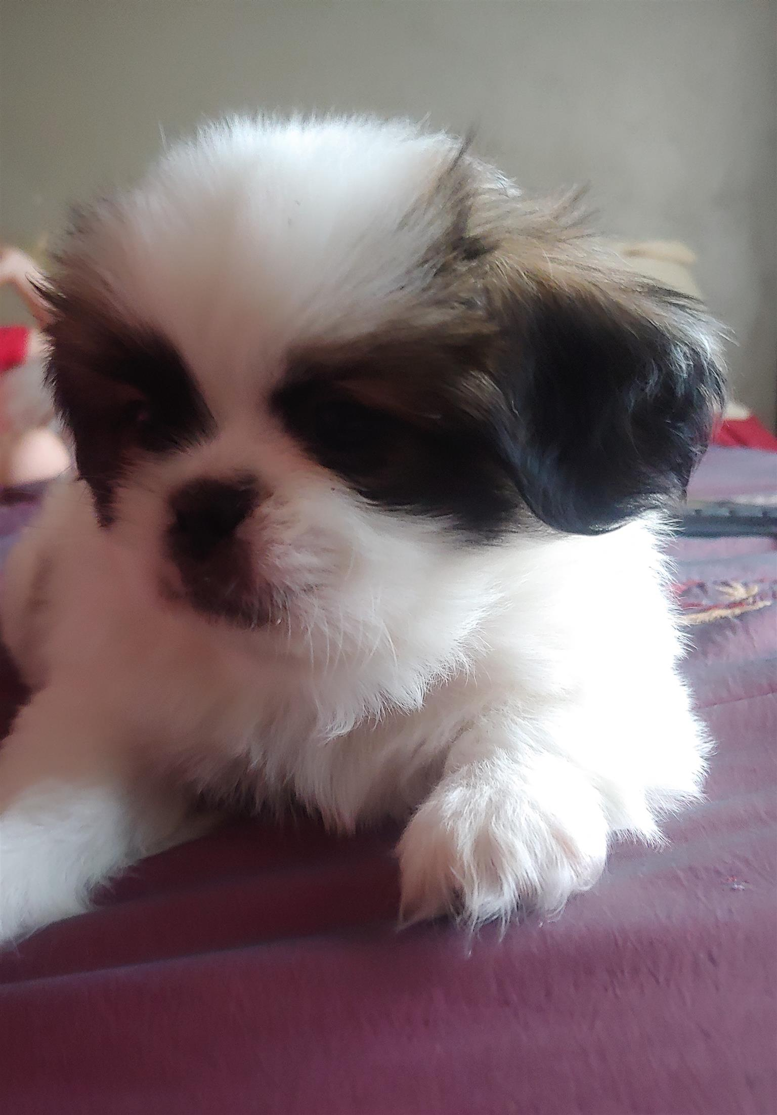 Pekingese puppy for sale