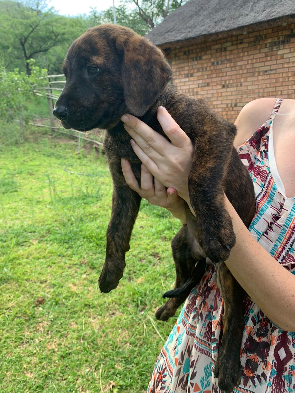 Rhodesian Labradors pups for sale