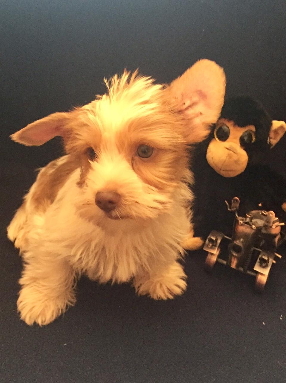 Ocean pearl yorkshire terrier puppy