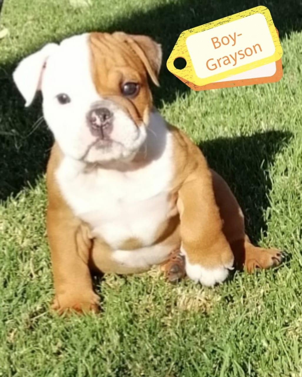 English Bulldogs (pedigree) for sale