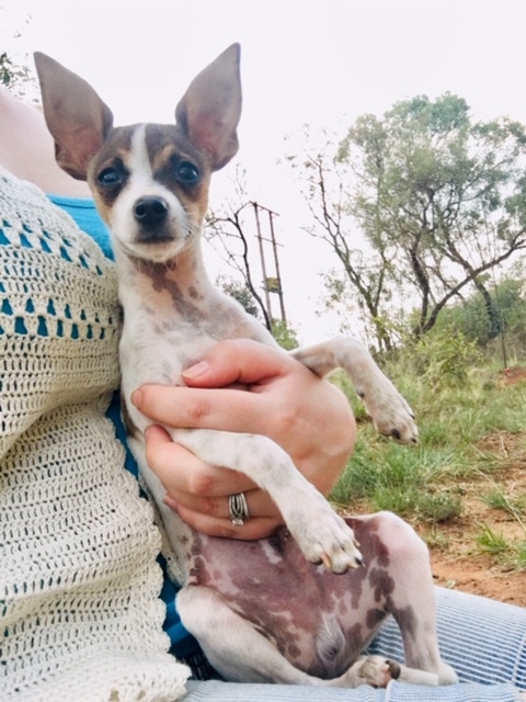 Miniature Harlequin/ Piebald Pincher puppies for sale
