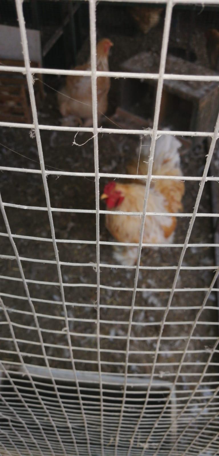 Lemon Pyle Brahma Chicken for Sale