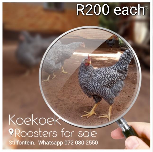 Potch koekoek for sale