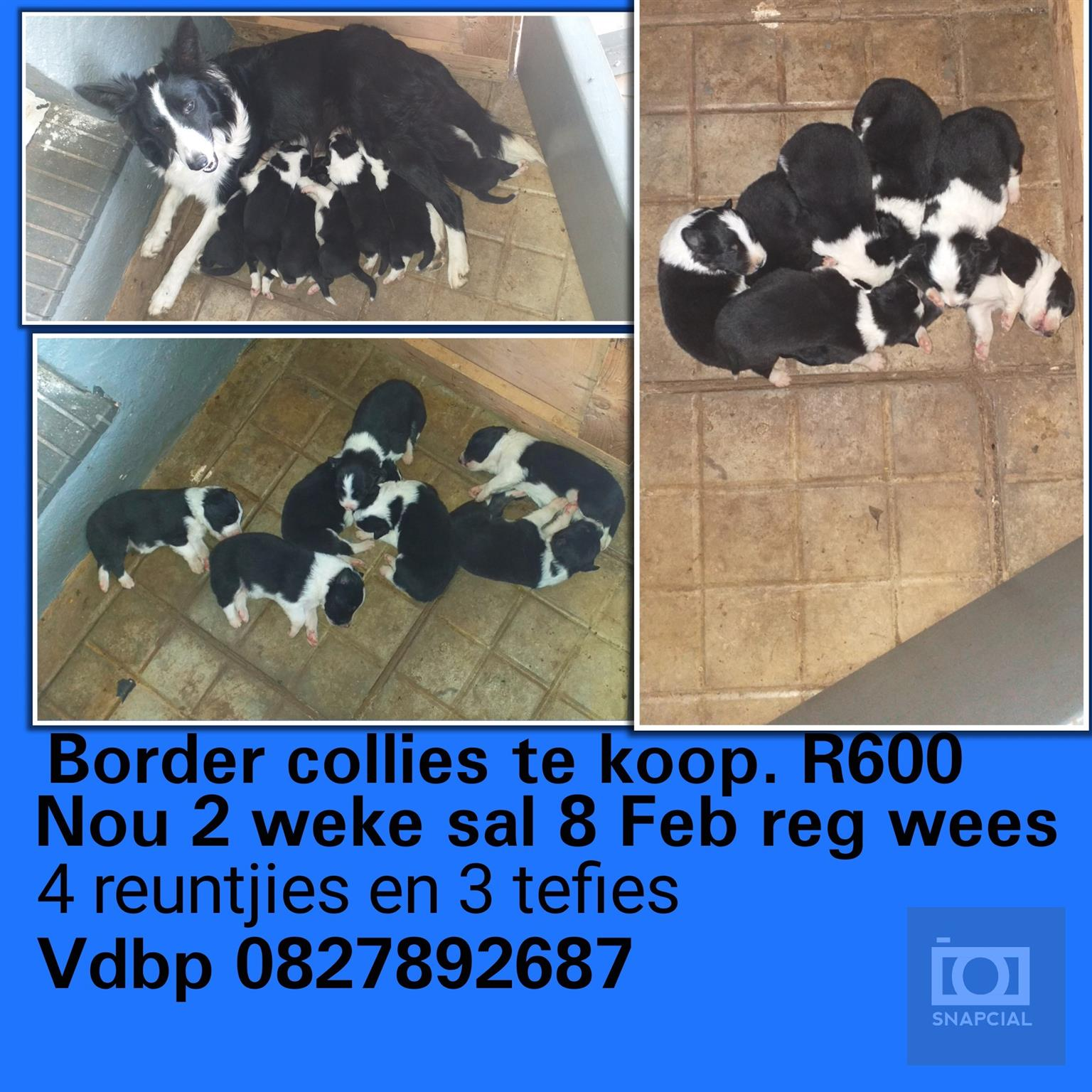 Border collies te koop
