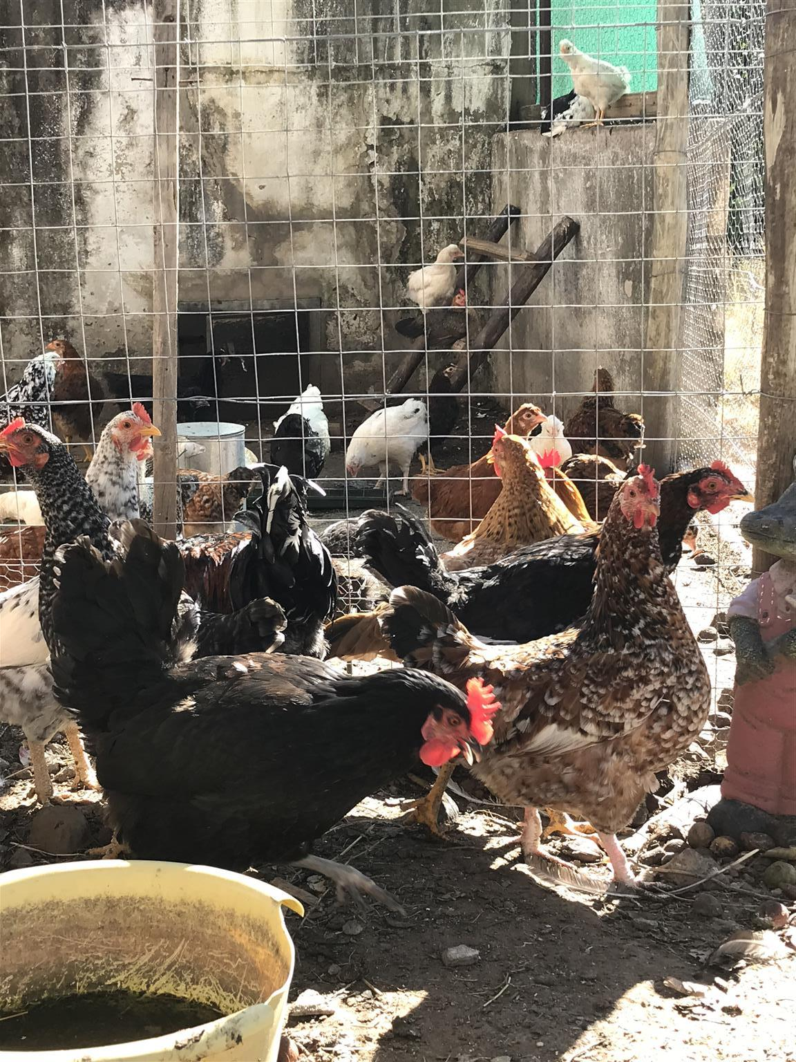 Beautiful Roosters and hens for sale!