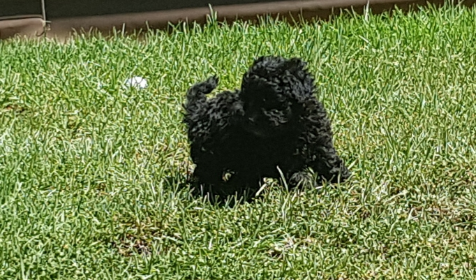 Toy French Poodle Puppies