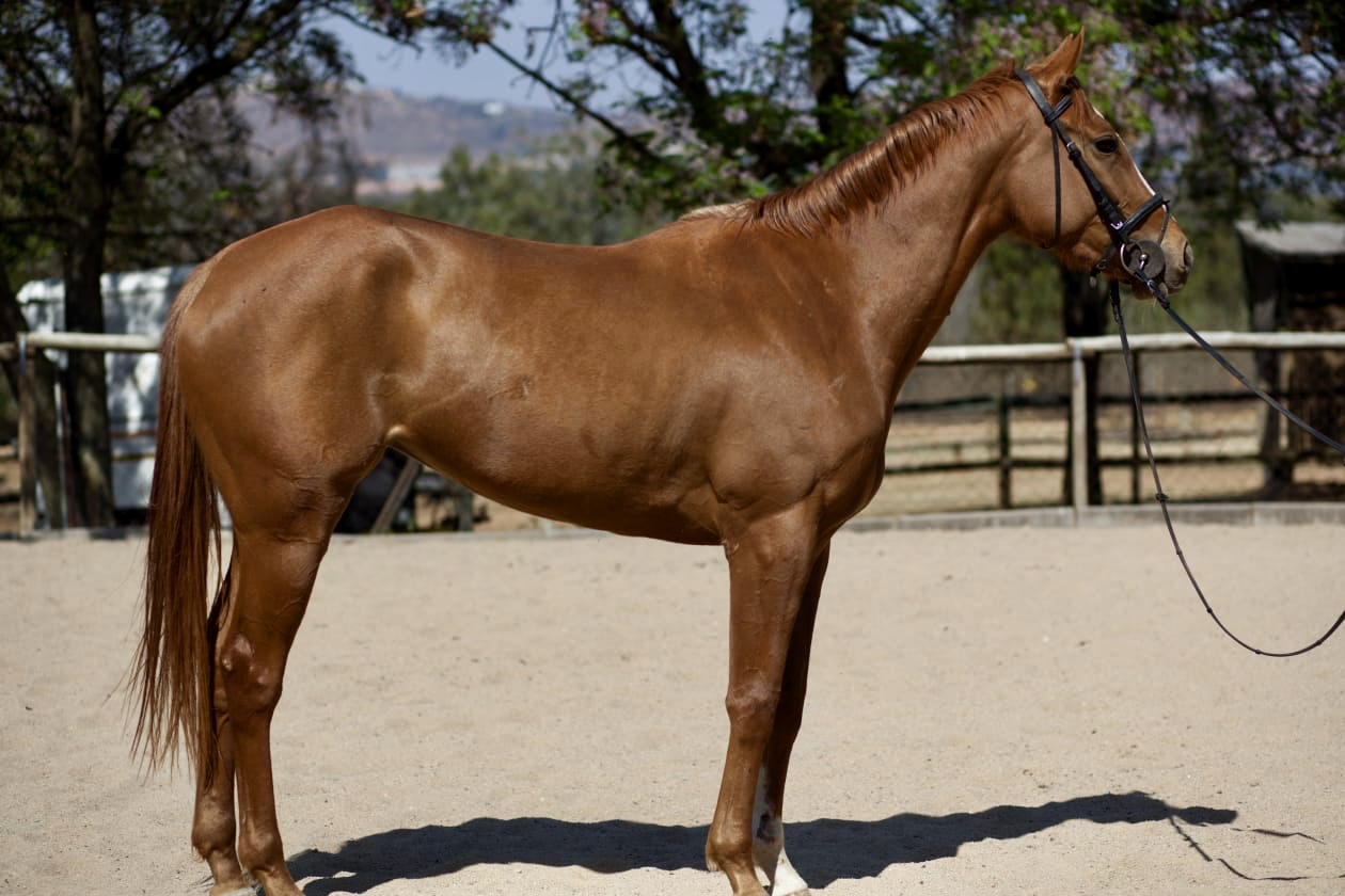 Stunning Tb mare!!!! Ideal for nervous rider