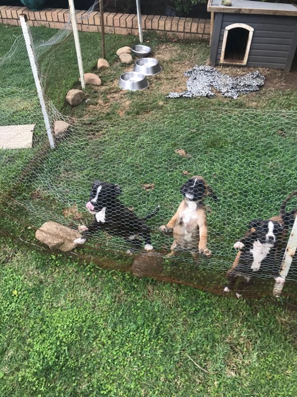 Boxer puppies