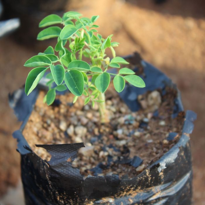 Moringa trees for sale spring fresh young trees