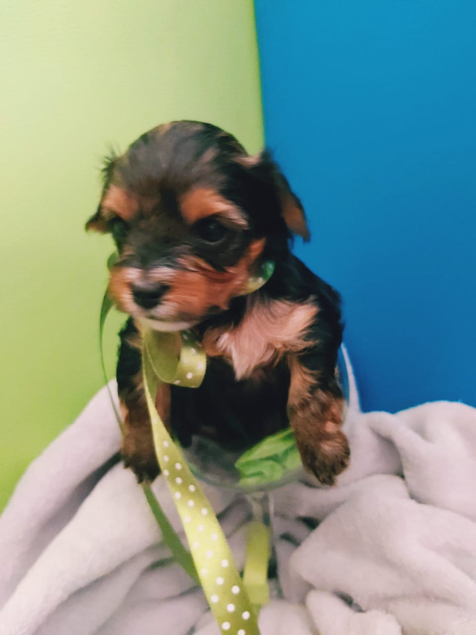 Pocket size yorkies for sale
