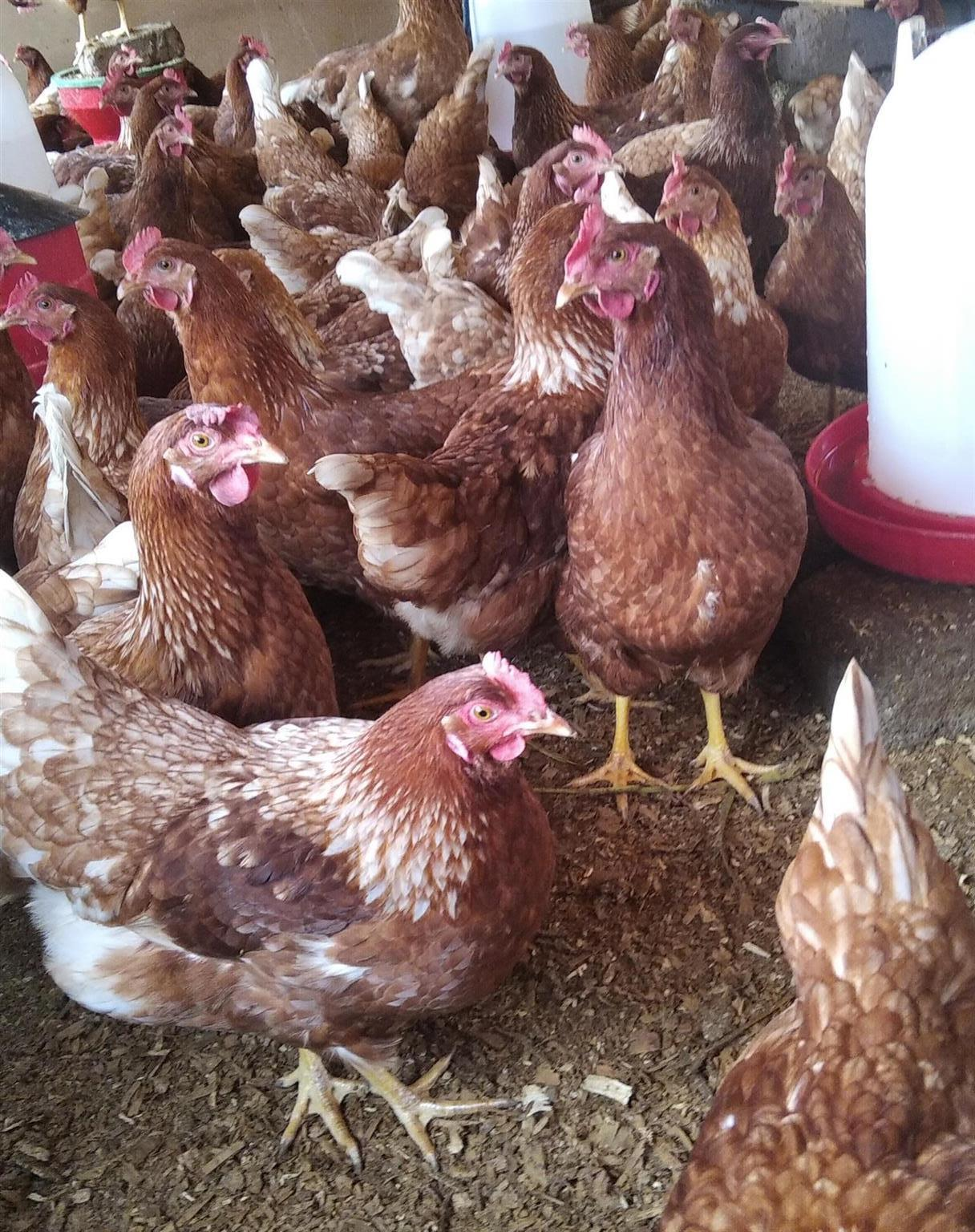 Layer hen's available