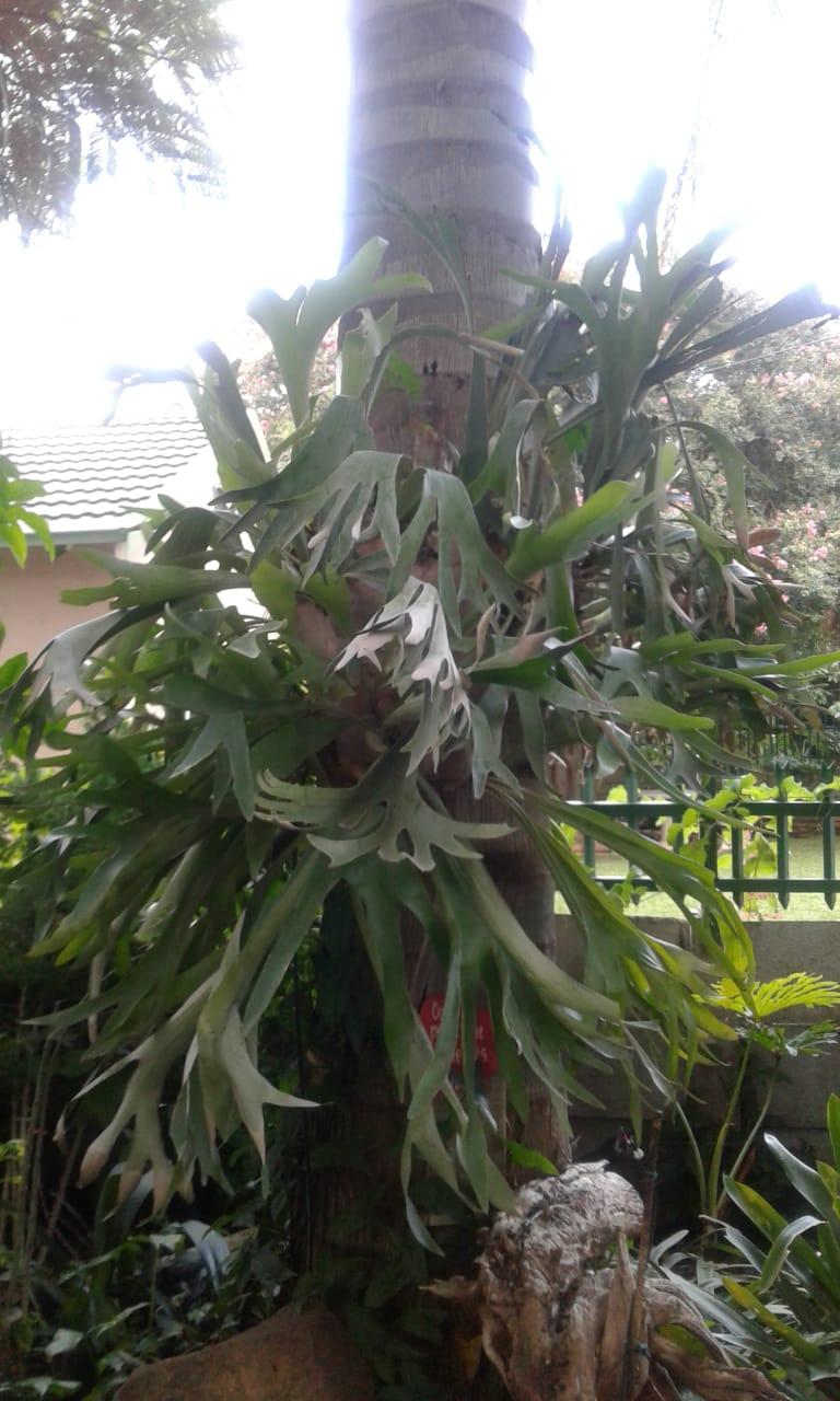 Platycerium / Staghorn ferns / Takbok varings