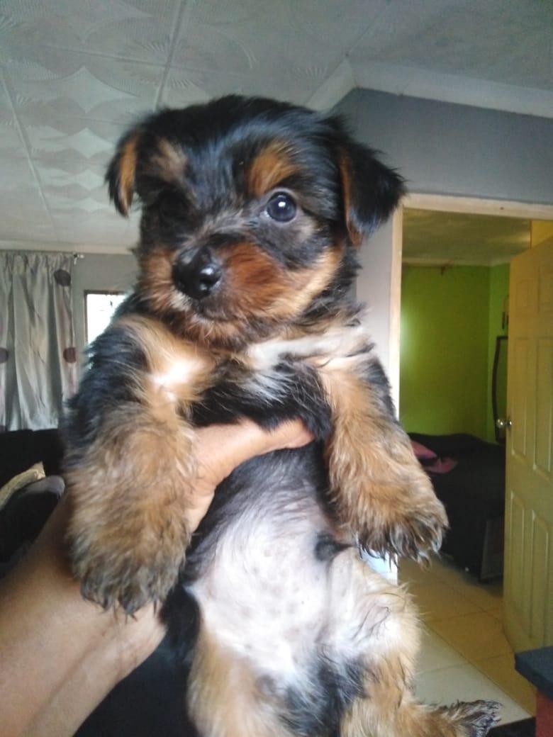Yorky puppy