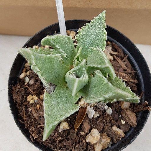 Spekbome & Vetplante