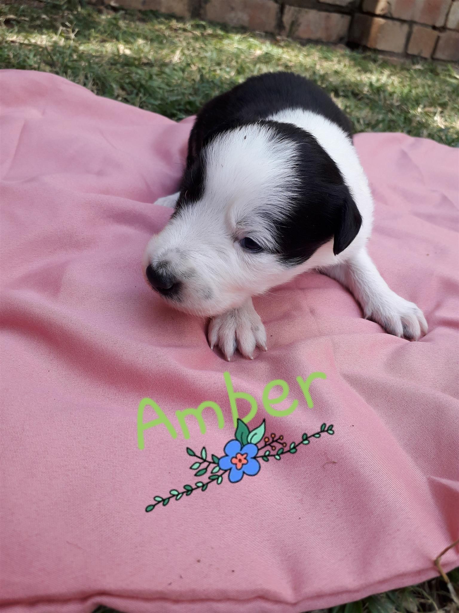 Border Collie Puppies (Skaaphondjies)