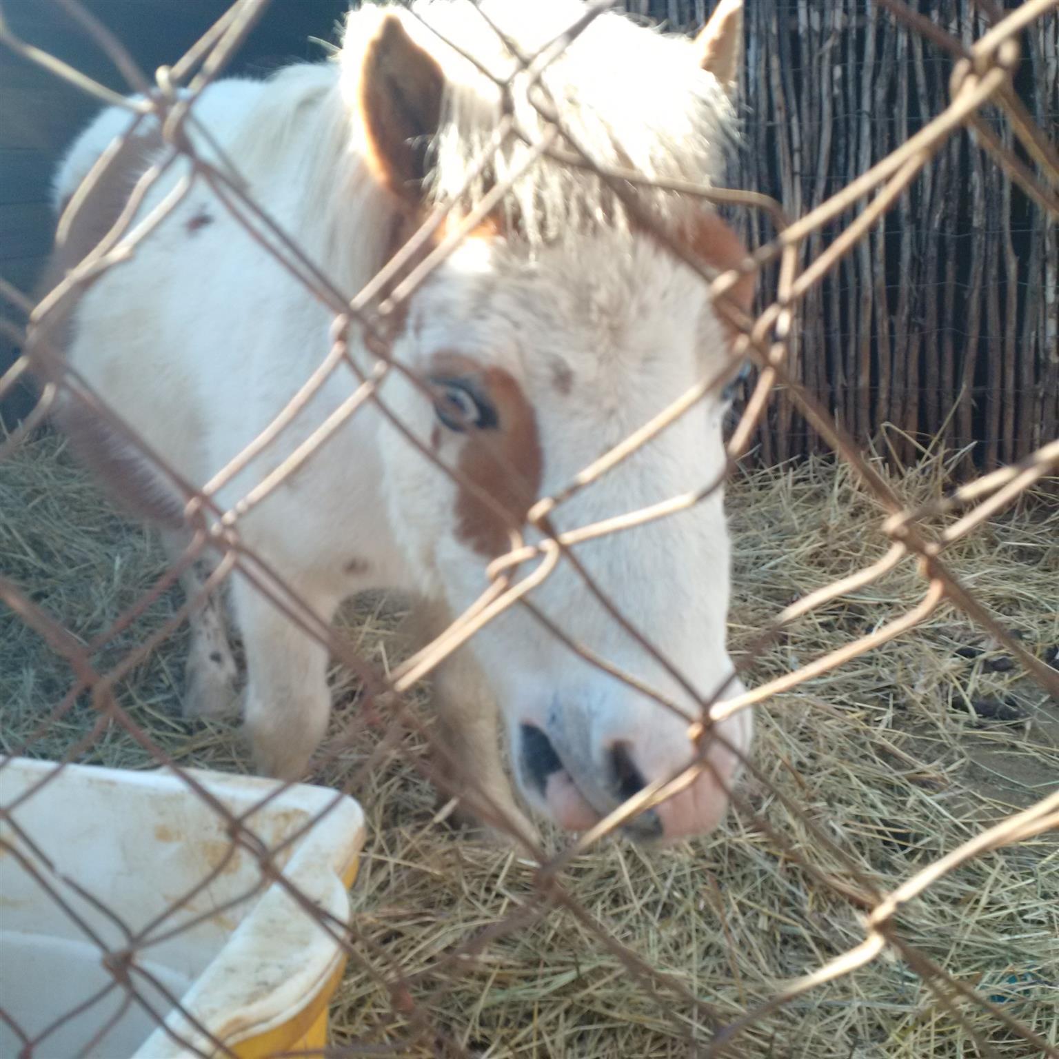 male dwarf pony