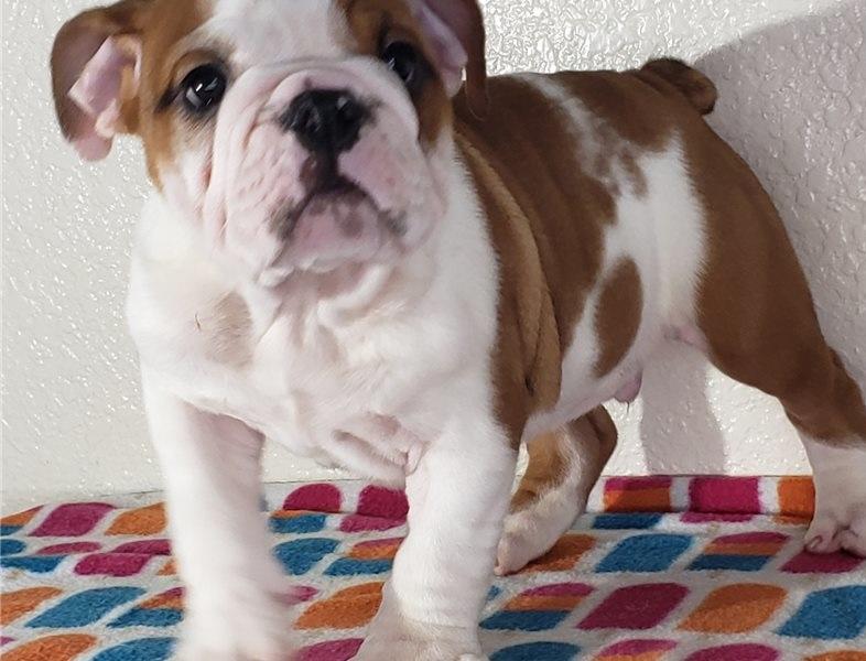 Beautiful English Bulldog for sale