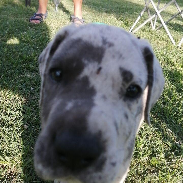 Great Dane Male Puppy