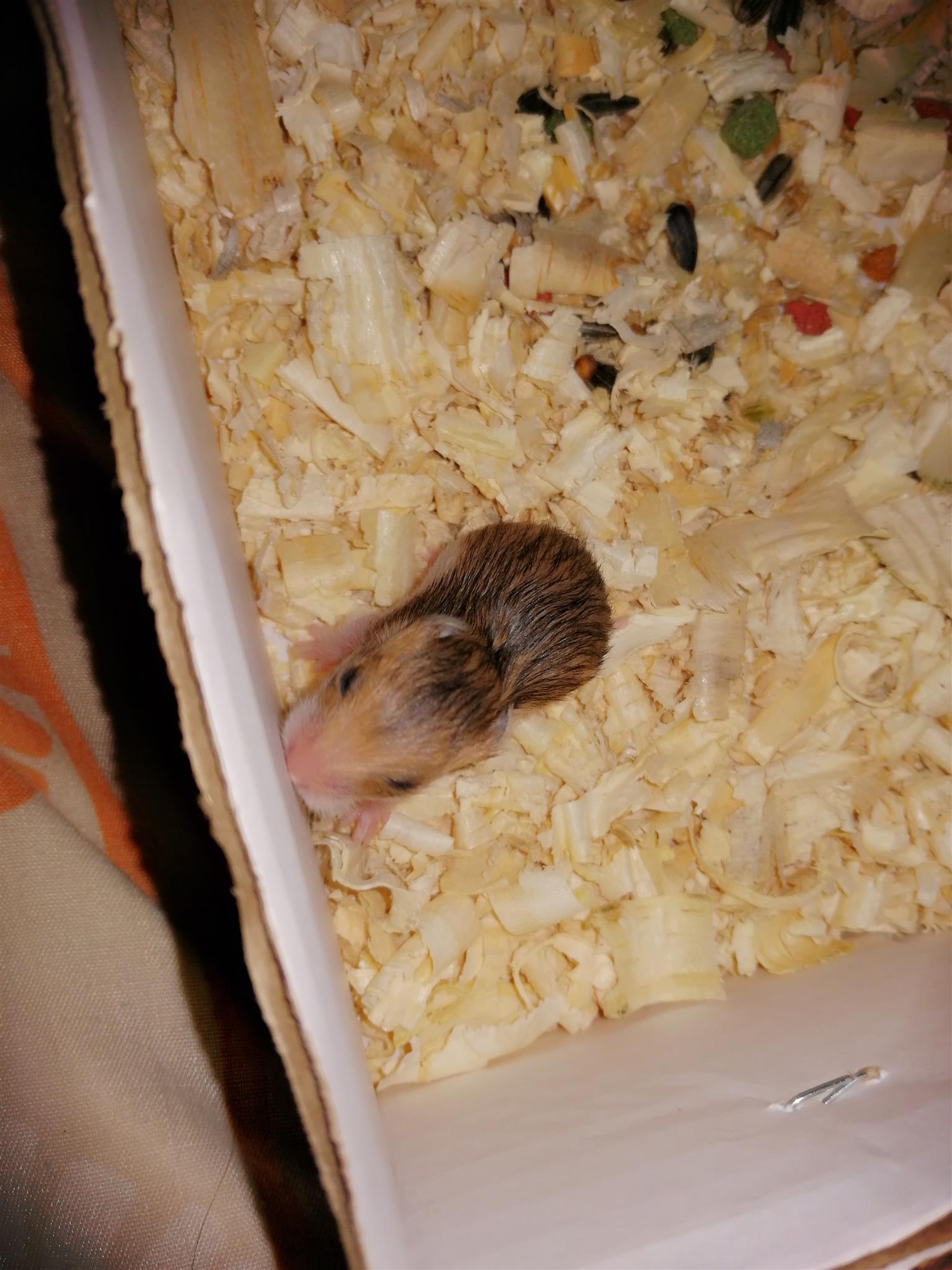 Teddybear Hamsters