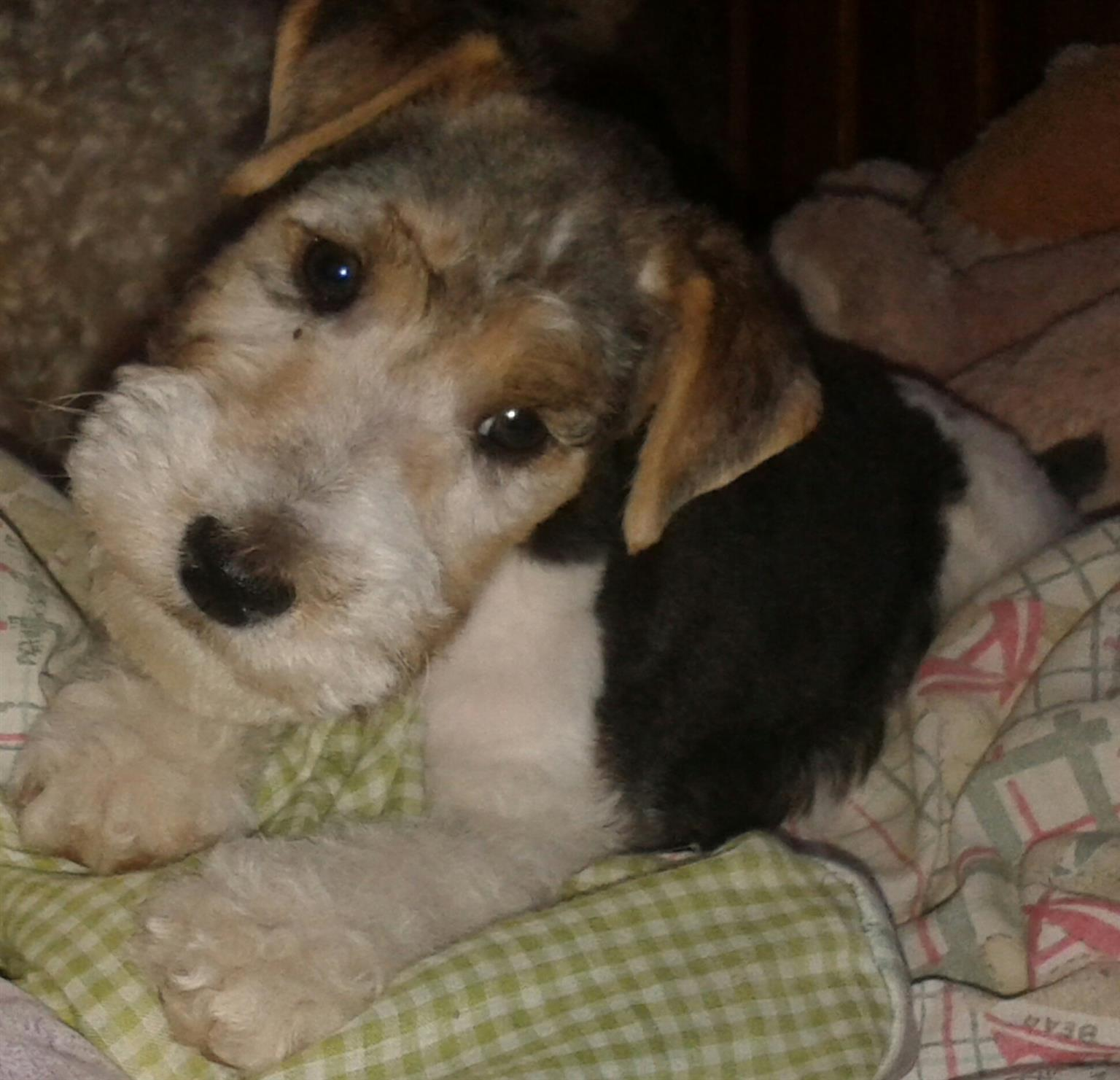 Wire Hair Fox Terrier Puppies For Sale