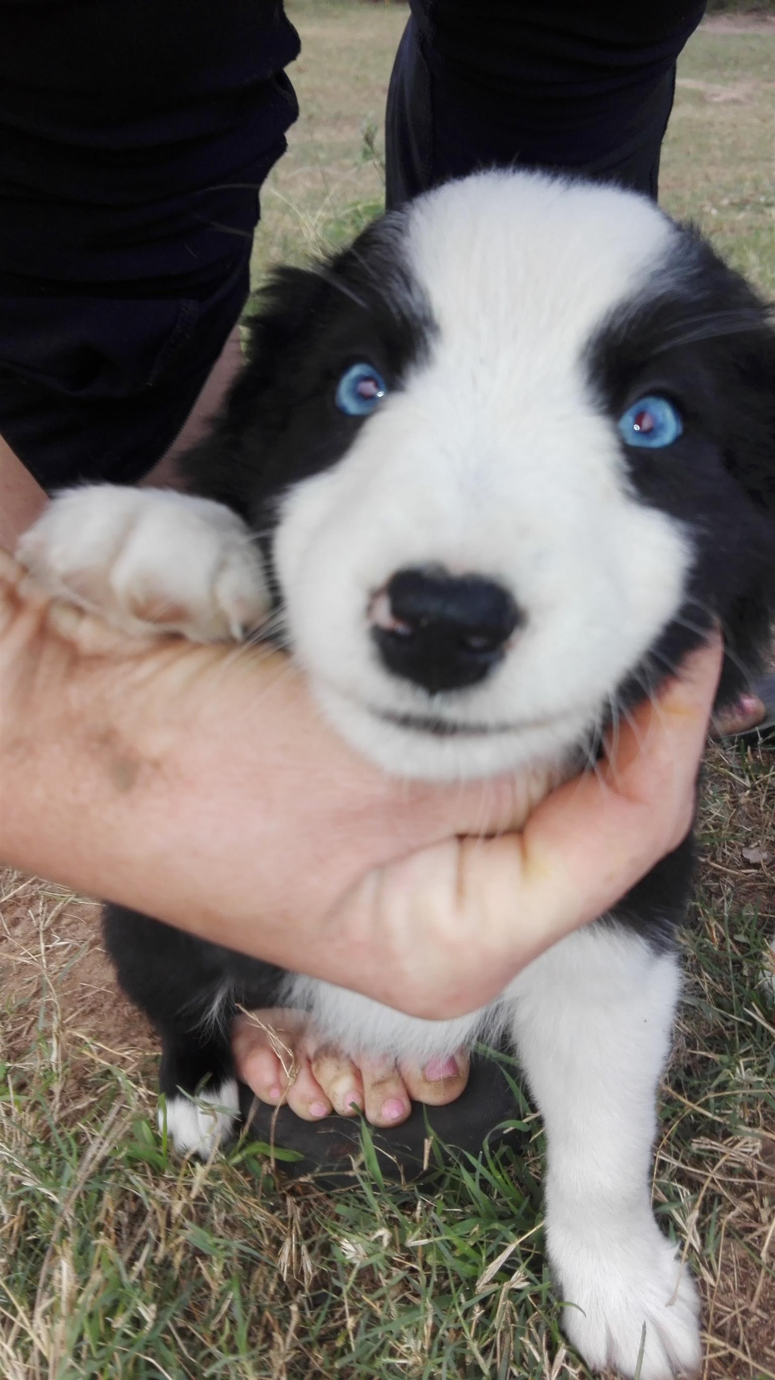 Border Collie Male -Blue Eyes