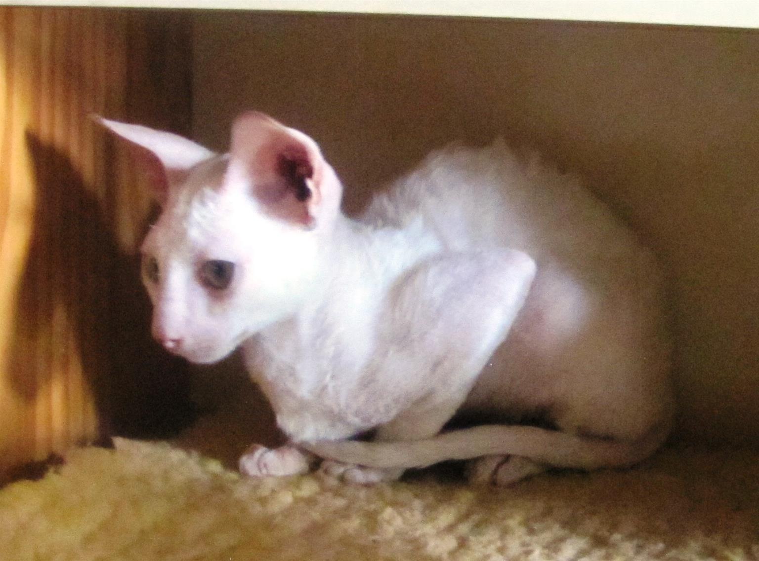 Welp Cornish Rex kittens | Junk Mail TJ-14