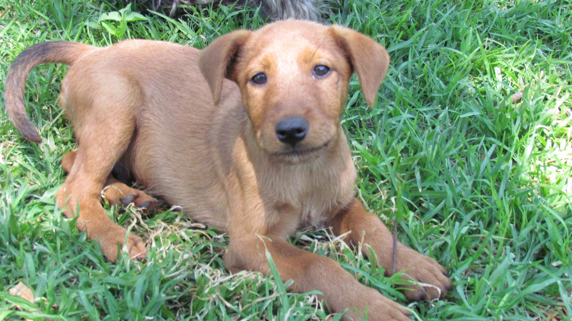 Pedigree Irish Terrier Puppies For Sale Junk Mail