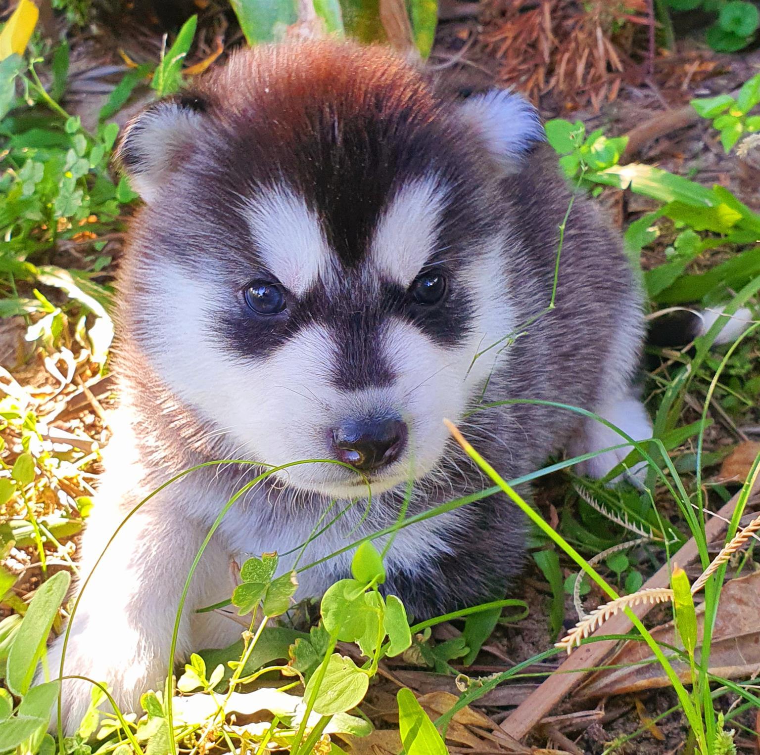 Siberian Husky Male Registered.