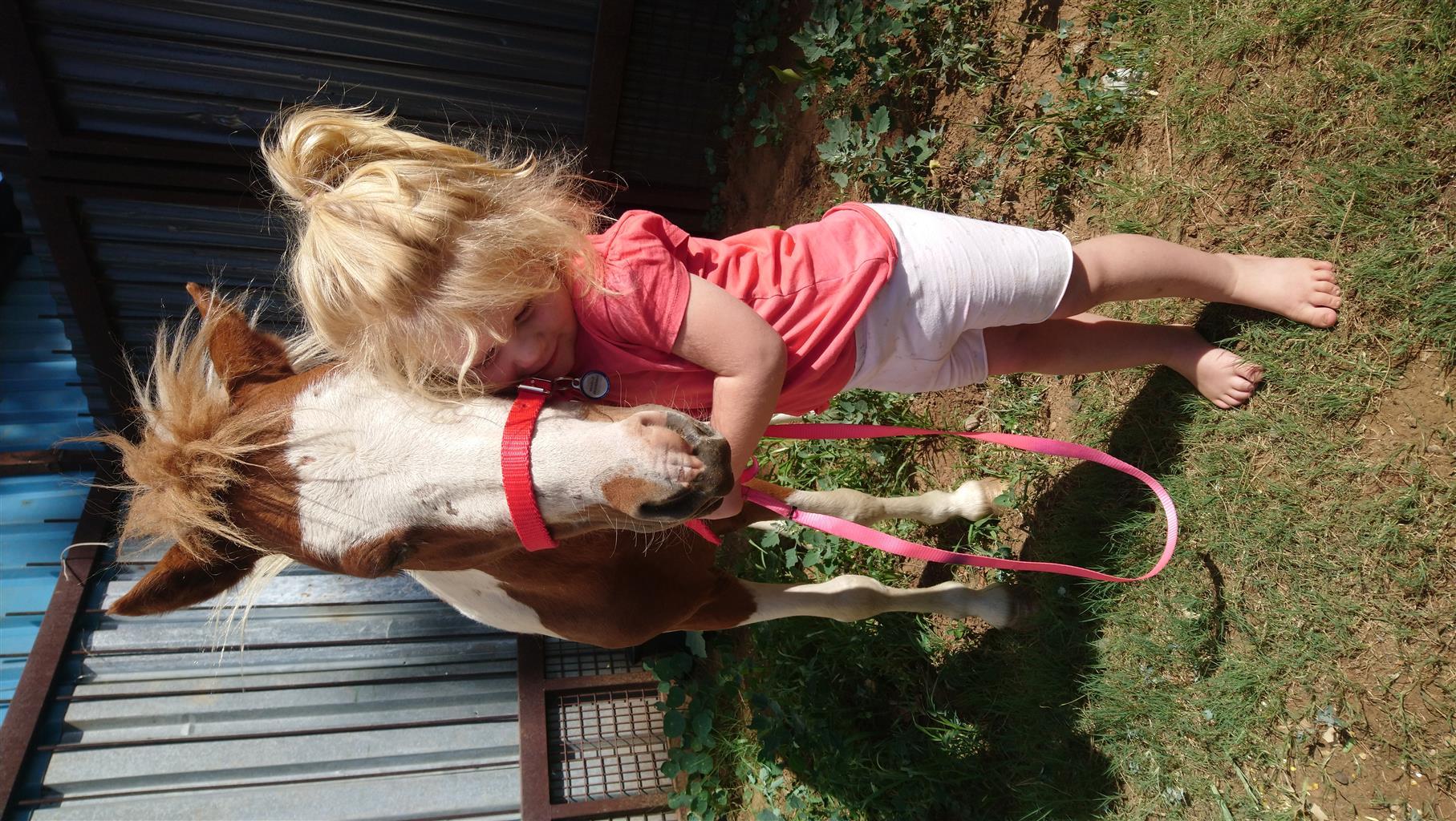 Beautiful little Minature Pale face Pinto Stallion for sale