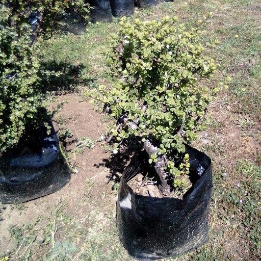 spekboom trees